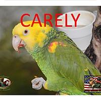 Adopt A Pet :: Carley The Amazing Amazon! - Vancouver, WA