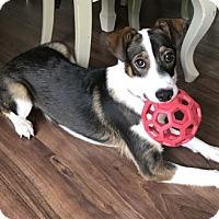 Adopt A Pet :: Paisley ADOPTED - Livonia, MI