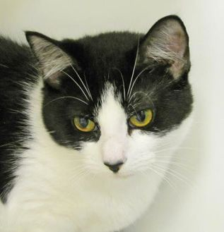Domestic Shorthair/Domestic Shorthair Mix Cat for adoption in Woodstock, Illinois - Boa