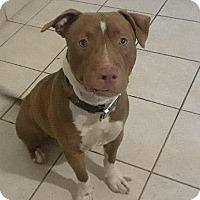Adopt A Pet :: Zeus (973) 735-3783 - Miami, FL
