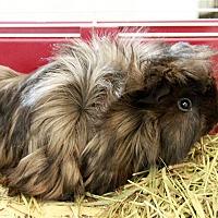 Adopt A Pet :: Sage - Concord, NH