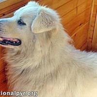 Adopt A Pet :: Snowy in VA - Beacon, NY