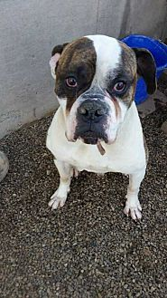 American Bulldog Mix Dog for adoption in Foristell, Missouri - Andre