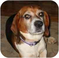 Beagle Dog for adoption in Warren, New Jersey - McCoy