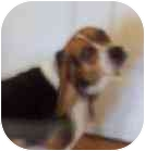 Beagle Dog for adoption in Ventnor City, New Jersey - YOUNG JOE