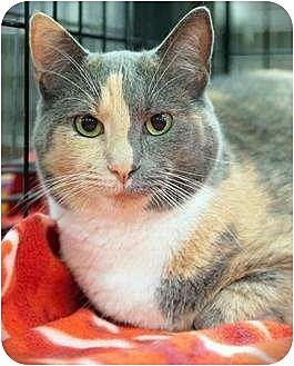 Domestic Shorthair Cat for adoption in Fairfax Station, Virginia - Jan