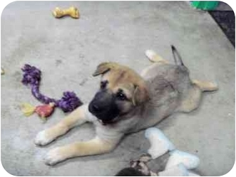 Shar Pei Mix Puppy for adoption in BLACKWELL, Oklahoma - Jeff