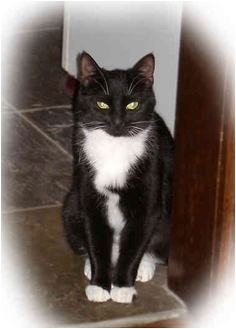 American Shorthair Cat for adoption in Cranford, New Jersey - Sushi