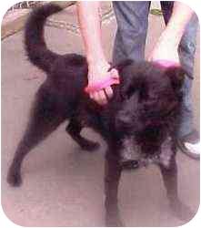 Labrador Retriever/Collie Mix Dog for adoption in Brazil, Indiana - Wagle