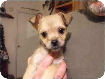 Chihuahua/Terrier (Unknown Type, Small) Mix Puppy for adoption in Wilminton, Delaware - Terrier #2
