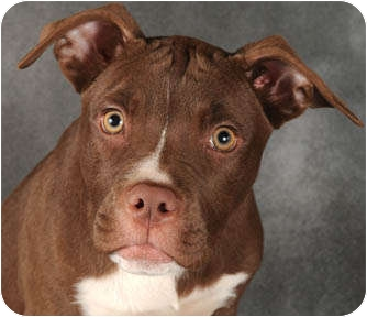 American Pit Bull Terrier Puppy for adoption in Chicago, Illinois - Ginger
