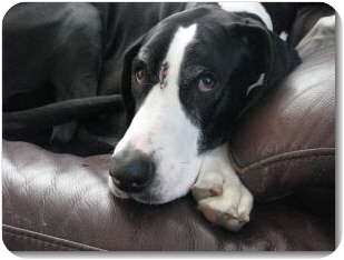 Great Dane Dog for adoption in Springfield, Illinois - Star
