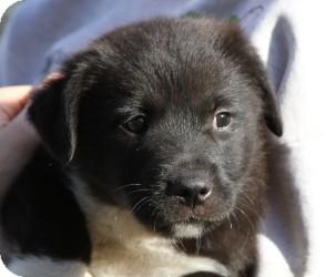 Labrador Retriever Mix Puppy for adoption in Marlton, New Jersey - Baby Vanna