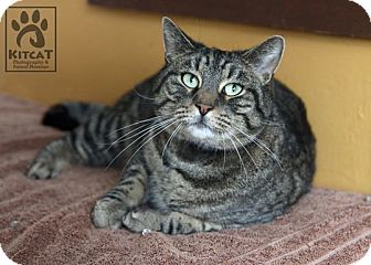 Domestic Shorthair Cat for adoption in Lancaster, Massachusetts - Tiger