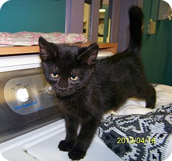 Domestic Shorthair Kitten for adoption in Dover, Ohio - Percy