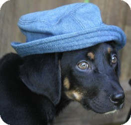 Shepherd (Unknown Type)/Rottweiler Mix Puppy for adoption in Wayne, New Jersey - Cain