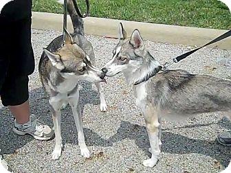 Siberian Husky Dog for adoption in Zanesville, Ohio - Foxy