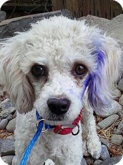 Poodle (Miniature) Dog for adoption in Reno, Nevada - Freya