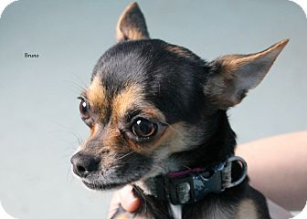Chihuahua/Xoloitzcuintle/Mexican Hairless Mix Dog for adoption in Hibbing, Minnesota - Bruno