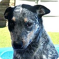 Adopt A Pet :: Riley - white settlment, TX