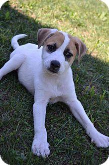 Labrador Retriever/Bulldog Mix Puppy for adoption in Bartonsville, Pennsylvania - Bandit