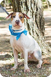 Bull Terrier/Retriever (Unknown Type) Mix Dog for adoption in Homewood, Alabama - Nacho