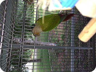 Conure for adoption in Punta Gorda, Florida - Dylan