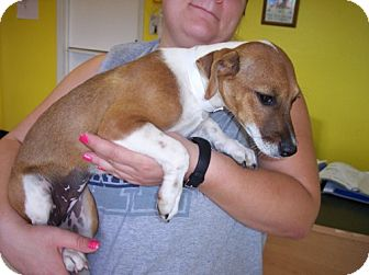 Beagle/Jack Russell Terrier Mix Puppy for adoption in Phoenix, Arizona - Daisey