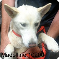 Adopt A Pet :: Madeline - Greencastle, NC