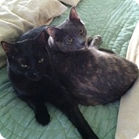Domestic Shorthair Cat for adoption in Lansdowne, Pennsylvania - Thelma