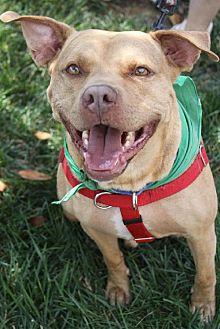 American Staffordshire Terrier Mix Dog for adoption in Fredericksburg, Virginia - Zach- Lucky Dog Rescue