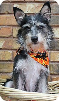 Terrier (Unknown Type, Small) Mix Dog for adoption in Benbrook, Texas - Benji