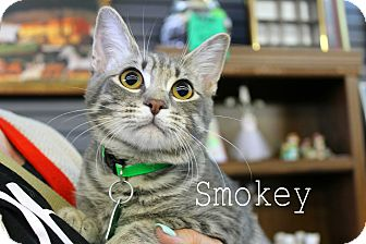 Domestic Shorthair Kitten for adoption in Wichita Falls, Texas - Smokey