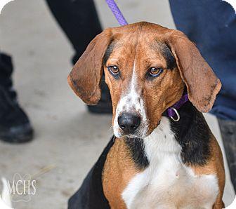 Treeing Walker Coonhound Mix Dog for adoption in Martinsville, Indiana - LuLu