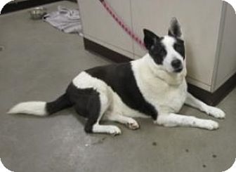 Border Collie/Shepherd (Unknown Type) Mix Dog for adoption in Union Grove, Wisconsin - Daisy-ADOPT OR FOSTER