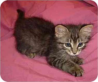 Domestic Mediumhair Kitten for adoption in Lavon, Texas - Tommie