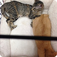 Adopt A Pet :: Juniper - Simpsonville, SC