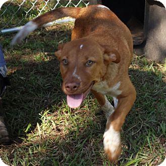 Labrador Retriever Mix Dog for adoption in Minneapolis, Minnesota - Gabbana