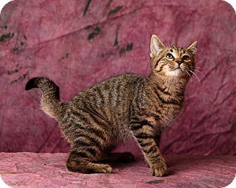 Domestic Shorthair Kitten for adoption in Harrisonburg, Virginia - Glenn