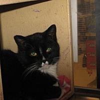Domestic Shorthair Cat for adoption in Logan, Utah - Chelsea