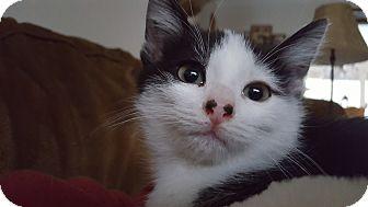 Domestic Shorthair Kitten for adoption in Irwin, Pennsylvania - Piggy