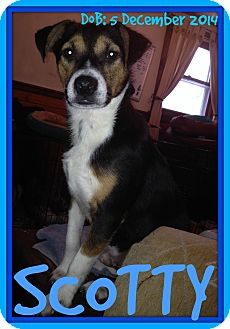 Terrier (Unknown Type, Small) Mix Dog for adoption in White River Junction, Vermont - SCOTTY