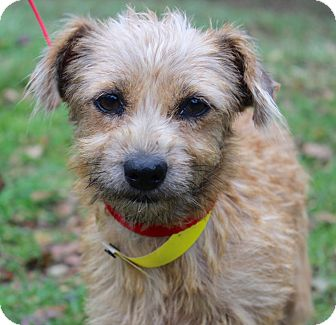 Norfolk Terrier/Terrier (Unknown Type, Small) Mix Dog for adoption in Monroeville, Pennsylvania - BLOSSOM