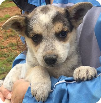 Australian Cattle Dog/Shepherd (Unknown Type) Mix Puppy for adoption in Burlington, Vermont - Ranger (6 lb) Video