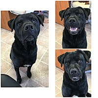 Adopt A Pet :: Lobo meet me 6/30 - Manchester, CT