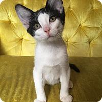 Adopt A Pet :: Leonardo - St. Louis, MO