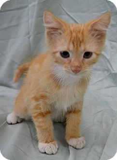 Domestic Shorthair Kitten for adoption in Michigan City, Indiana - Tommy