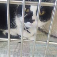 Domestic Shorthair/Domestic Shorthair Mix Cat for adoption in Manitowoc, Wisconsin - Rayne