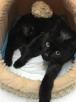 Domestic Shorthair/Domestic Shorthair Mix Cat for adoption in Saskatoon, Saskatchewan - Yves