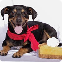 Adopt A Pet :: Pumpernickel - Baton Rouge, LA